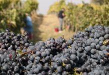 Un Settembre di vendemmia a Montepulciano (Mycultureinblog)